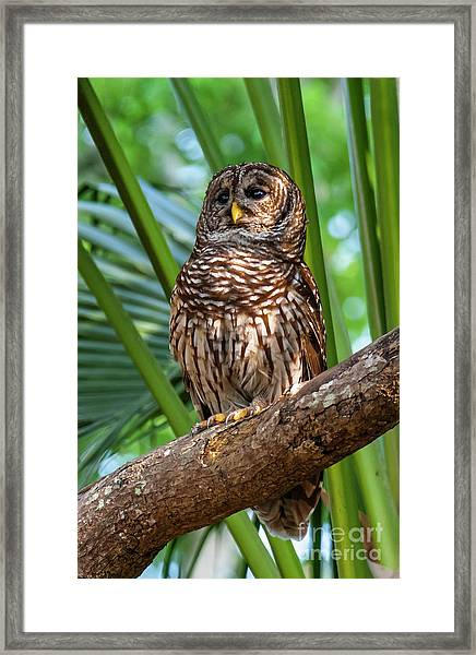 Barred Owl On Perch Framed Print