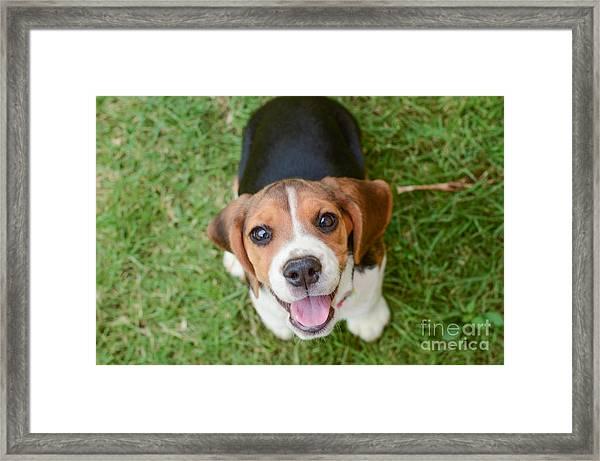 Beagle Puppy Sitting On Green Grass Framed Print by Mr.es