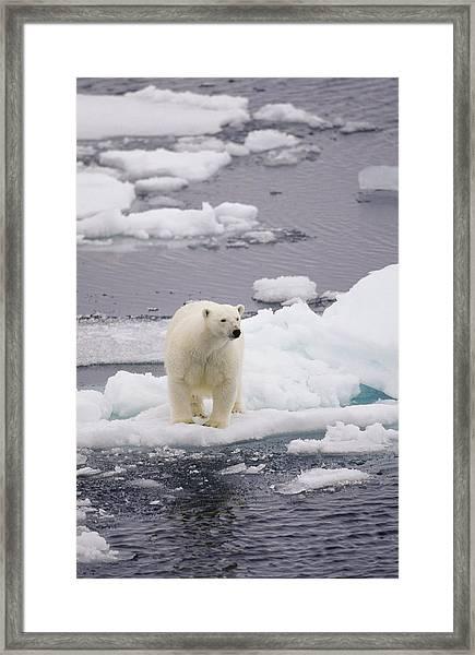 Bear On Small Ice Floe Framed Print
