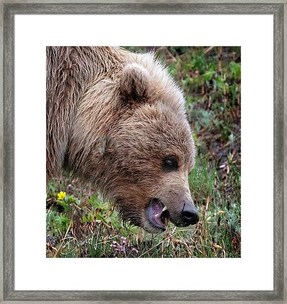 Framed Print featuring the photograph Bear Scare by David A Lane
