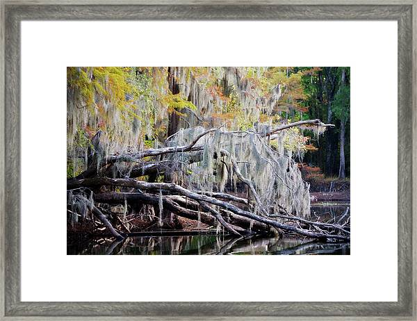 Beard Lichen Framed Print