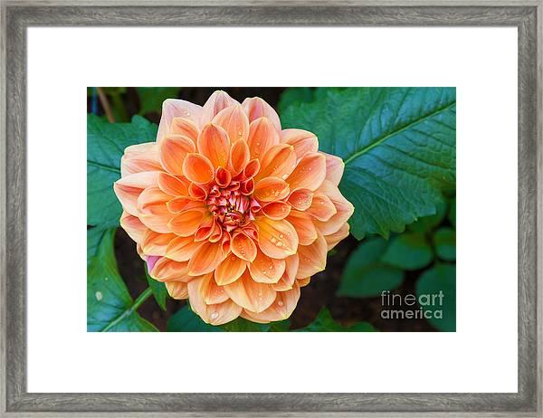 Beautiful Dahlia Flower And Water Drop Framed Print
