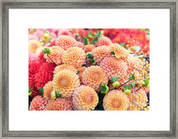 Beautiful Dahlia Flowers For Sale At Framed Print