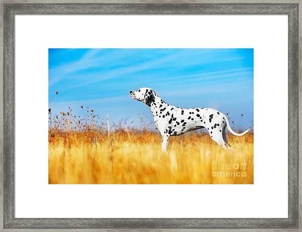 Beautiful Dalmatian Dog In A Field Framed Print
