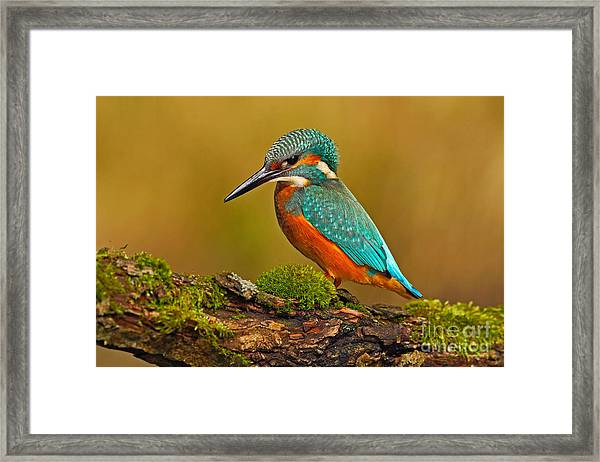 Beautiful Kingfisher With Clear Green Framed Print