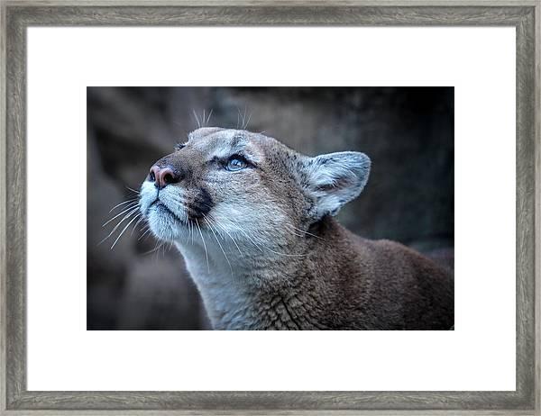 Beautiful Puma Framed Print