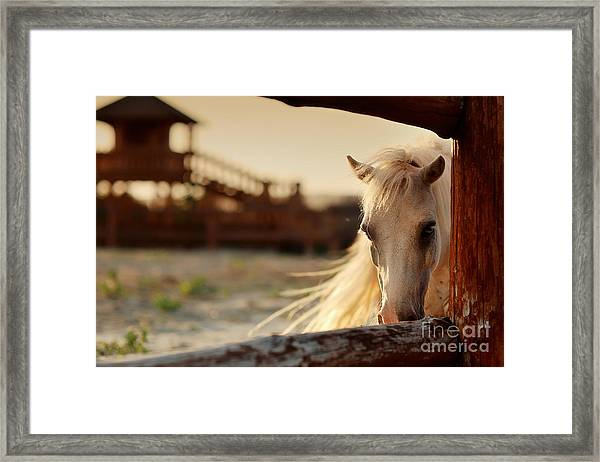 Beautiful, Quiet, White Horse Waits In Framed Print