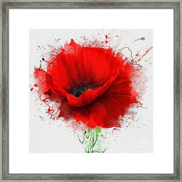 Beautiful Red Poppy, Closeup On A White Framed Print
