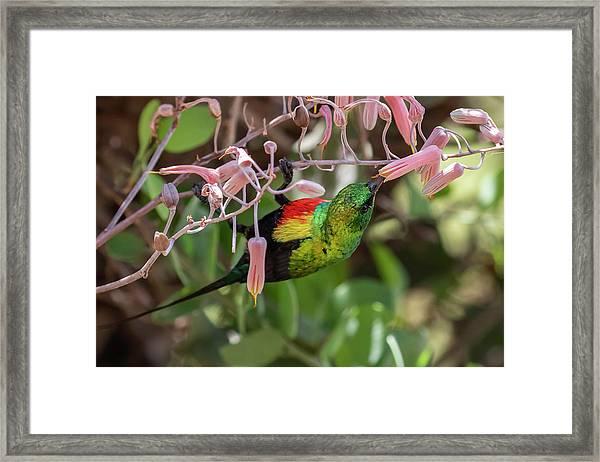 Beautiful Sunbird Framed Print