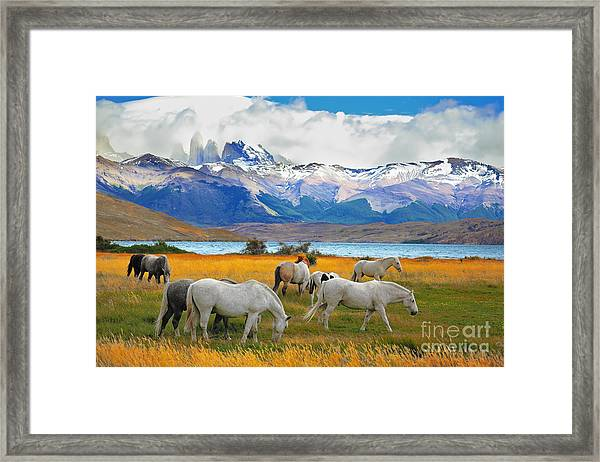 Beautiful White And Gray Horses Grazing Framed Print