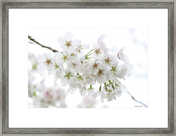 Beautiful White Cherry Blossoms Framed Print