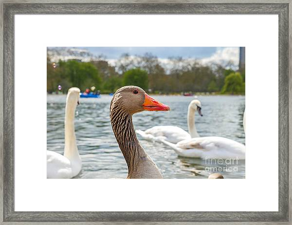 Beautiful Young Swans In Lake Wildlife Framed Print