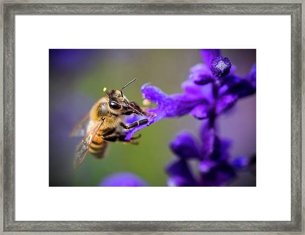 Bee On A Purple Flower Framed Print