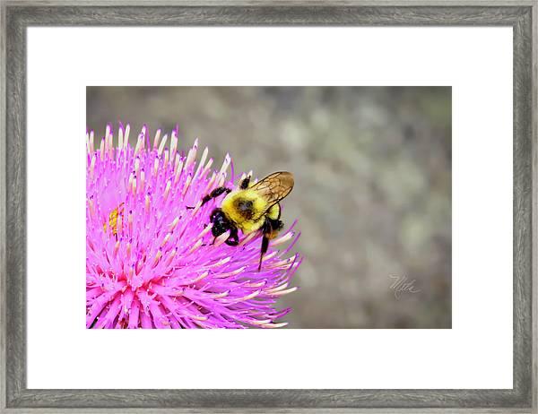Bee On Pink Bull Thistle Framed Print