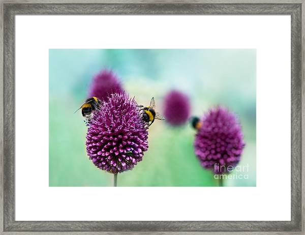 Bees On Allium Sphaerocephalon.  Allium Framed Print