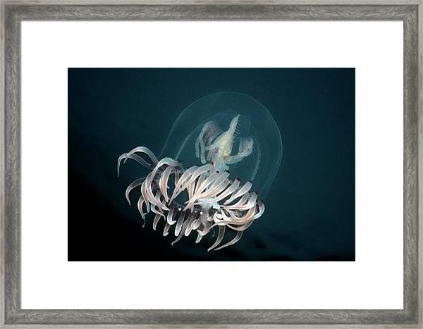 Bell Medusa Polyorchis Penicillatus Framed Print by Jeff Rotman