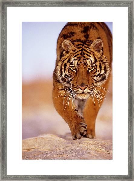 Bengal Tiger Panthera Tigris, Close-up Framed Print by John Giustina