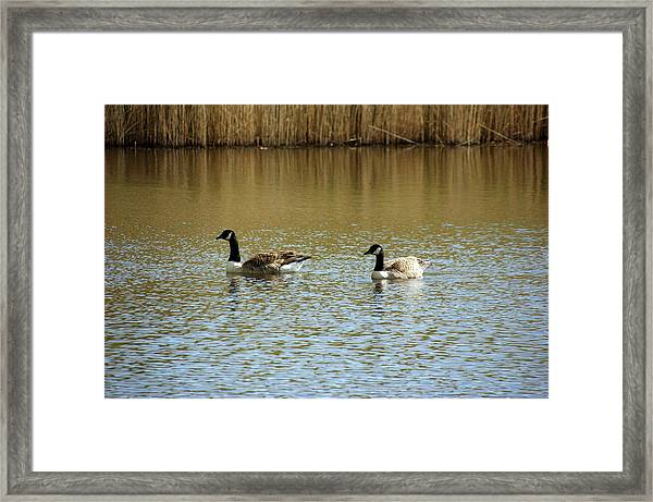 Bidston.  Bidston Moss Wildlife Reserve. Two Geese. Framed Print