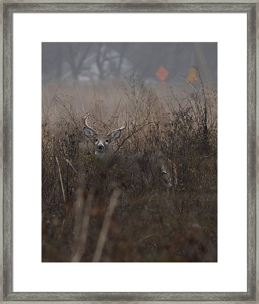 Big Buck Framed Print