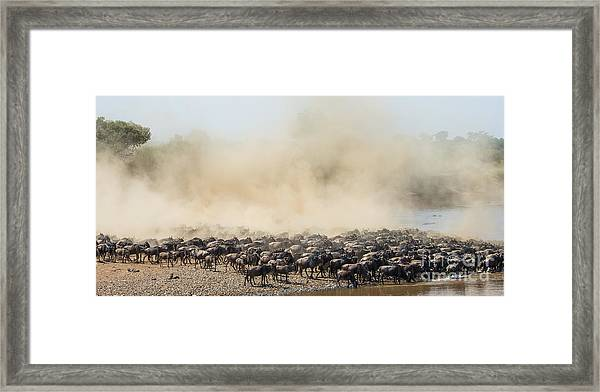 Big Herd Of Wildebeest Is About Mara Framed Print