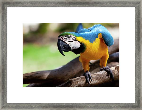 Big Parrot Framed Print