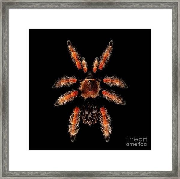 Big Spider Brachypelma Boehmei Framed Print