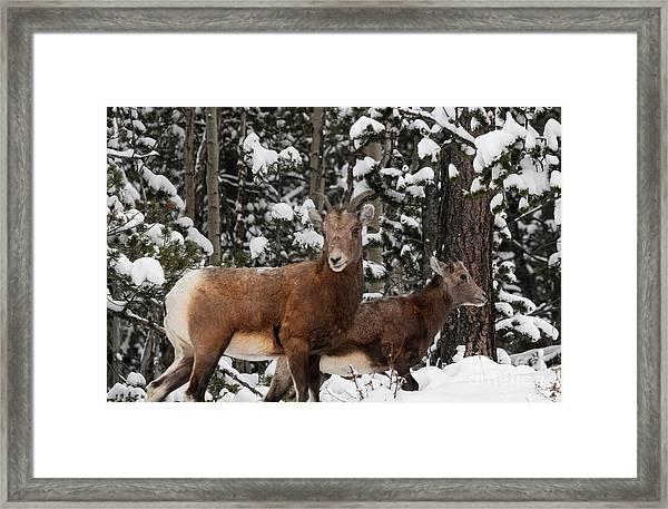 Bighorn Sheep In Deep Snow Framed Print