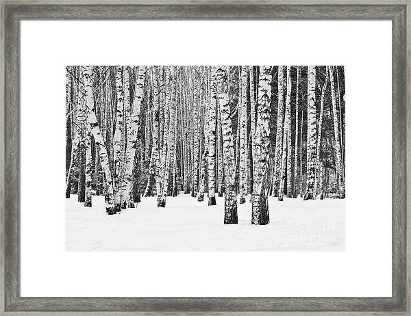 Birch Forest In Winter In Black And Framed Print