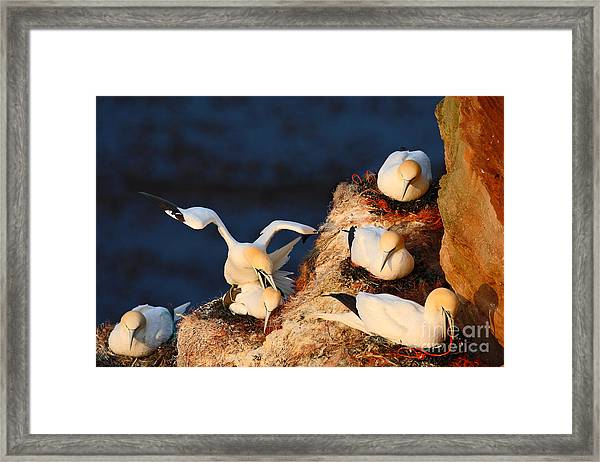 Bird Colony. Mating Of Northern Gannets Framed Print