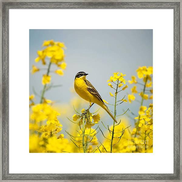 Bird In Yellow Flowers, Rapeseed Framed Print