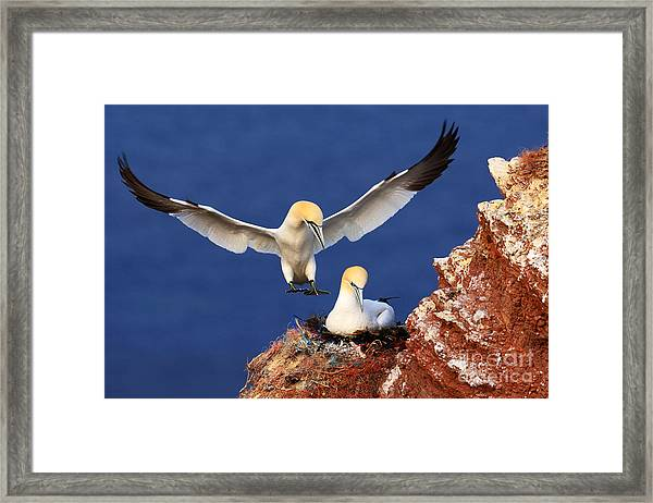 Bird Landind To The Nest With Female Framed Print