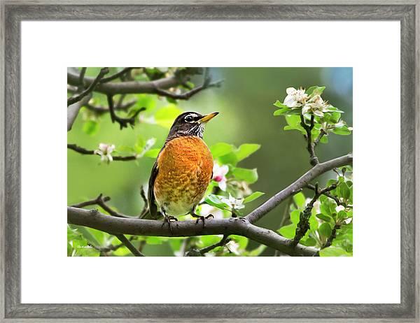 Birds - American Robin - Nature's Alarm Clock Framed Print