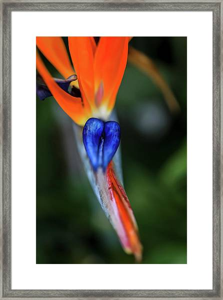 Birds Of Paradise Up Close Framed Print