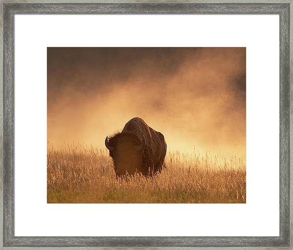 Bison In The Dust 2 Framed Print