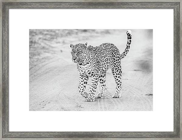 Black And White Leopard Walking On A Road Framed Print