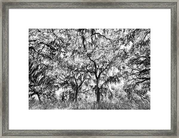 Black And White Of Live Oaks Draped Framed Print by Adam Jones