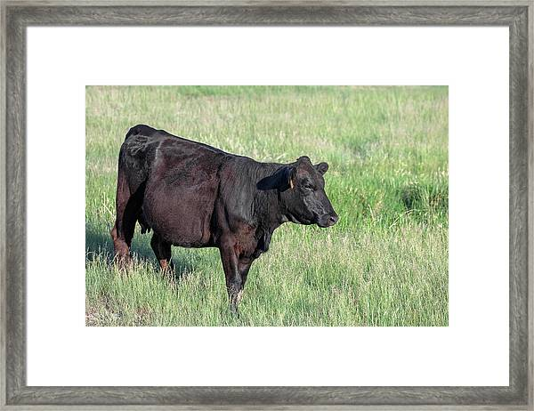 Black Angus In Grass Framed Print