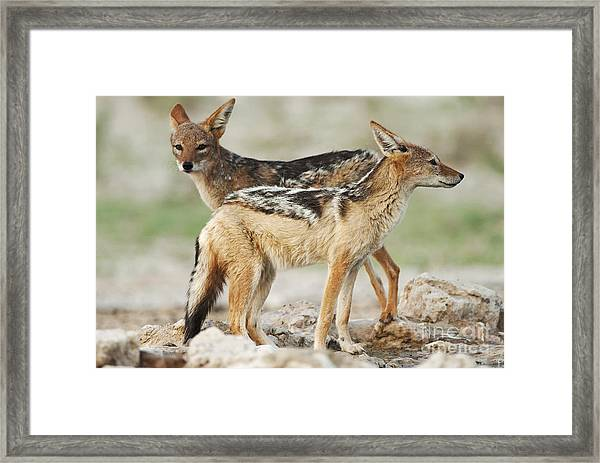 Black-backed Jackal, Canis Mesomelas Framed Print