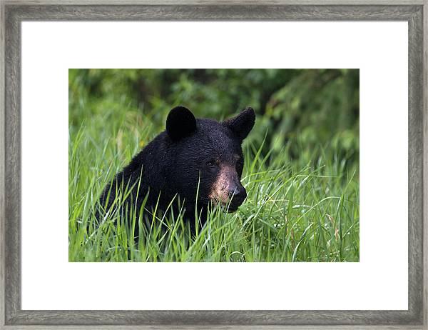 Black Bear, Spring Rain Framed Print by Ken Archer