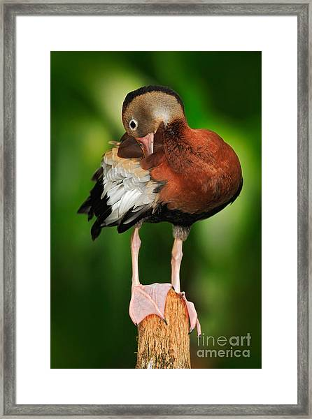 Black-bellied Whistling-duck Framed Print