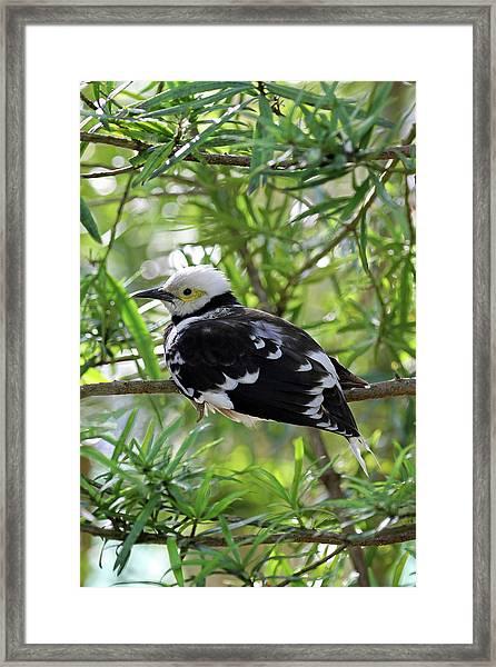 Black Collared Beauty Framed Print