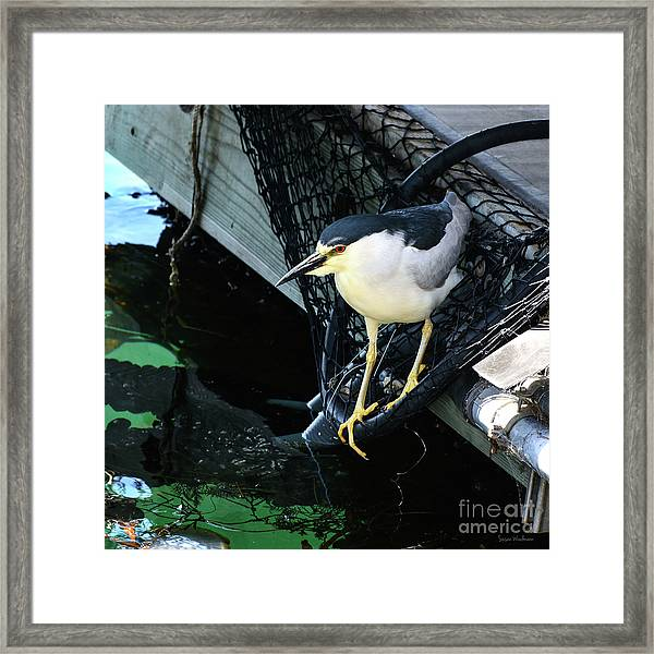 Black-crowned Night Heron Planning Its Dinner Framed Print