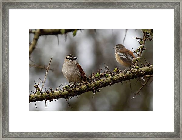 Black-crowned Tchagra And White-browed Scrub-robin Framed Print