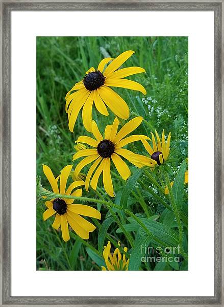 Black Eyed Susans 1 Framed Print