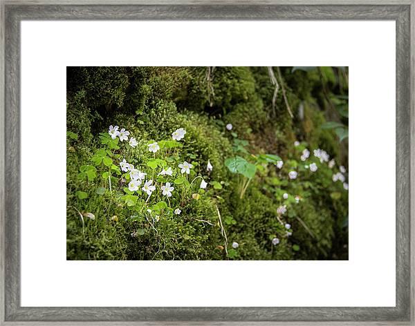 Black Forest Wood Sorrel Framed Print