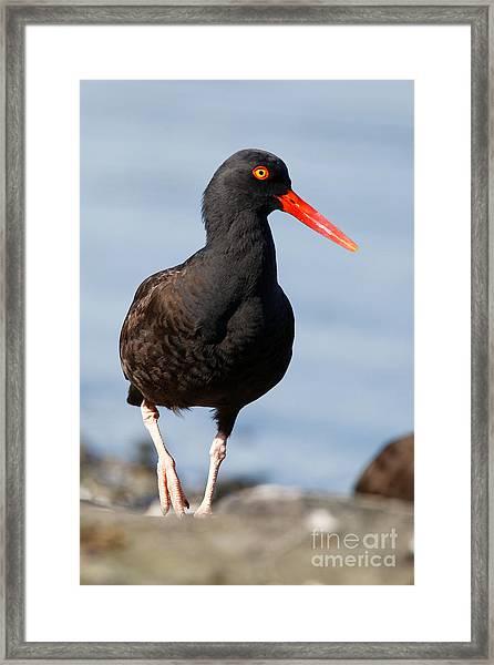 Black Oystercatcher Beachside Framed Print