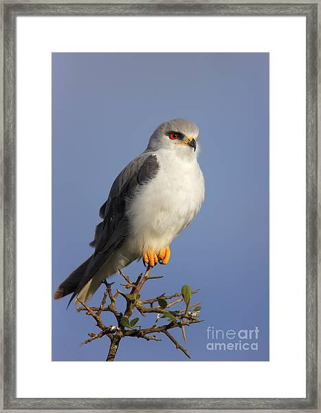 Black-shouldered Kite - Elanus Caeruleus Framed Print
