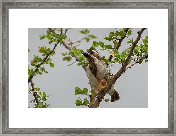 Black-throated Barbet Framed Print
