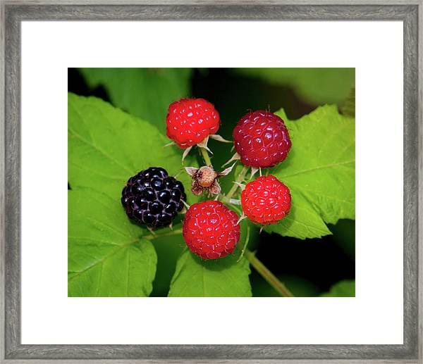 Blackberries Framed Print
