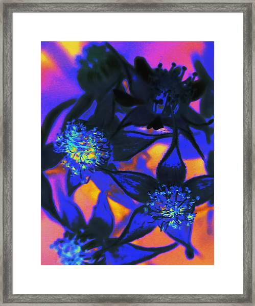Blackberry Flowers Sunset Neon Framed Print